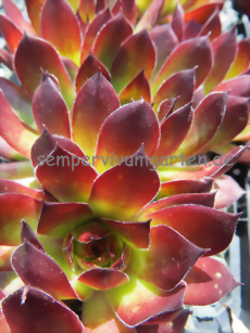 Sempervivum Devon Glow