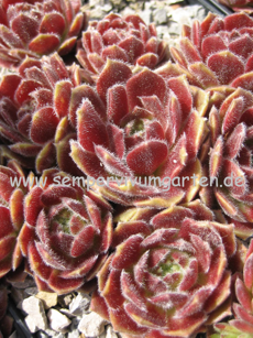 Sempervivum Hot Boyz - Dachwurz