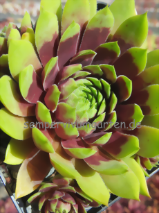 Sempervivum Late Night Show