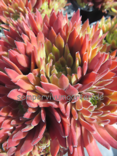 Sempervivum Tender Kiss