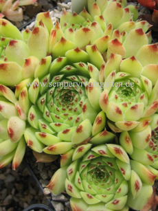 Sempervivum Tip Top - Hauswurz